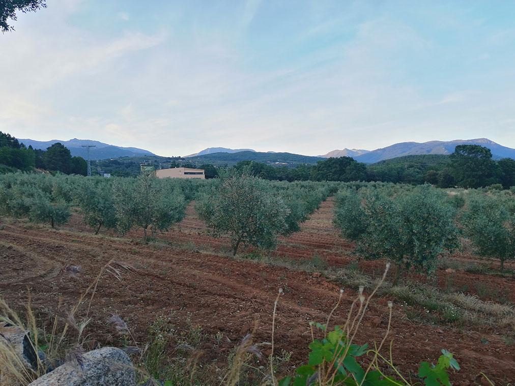 Olivar de Los Llanos de Gredos