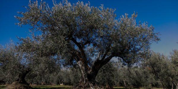 Olivo centenario de Los Llanos de Gredos